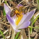 Honey bee on crocus at Inniswood
