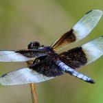 Widow-skimmer dragonfly at Prairie Oaks Metro Park