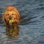 Dog retrieves a tennis ball from Darby Bend Lakes in Prairie Oaks Metro Park