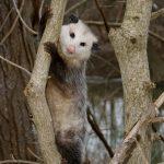 Opossum in tree at Prairie Oaks Metro Park