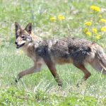 Coyote roams through a meadow at Rocky Fork Metro Park