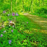 Spring blooms along Edward S Thomas Trail at Sharon Woods