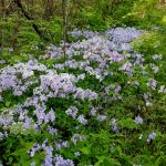 Blue phlox in the woods at Sharon Woods