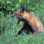 Red fox kit at Sharon Woods
