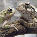 Gray treefrogs face-to-face at a Sharon Woods vernal pool