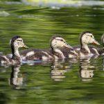 Mallard babies on Schrock Lake at Sharon Woods Metro Park