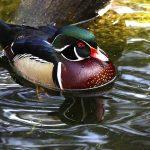 Wood duck on Schrock Lake