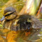Mallard duckling at Scioto Audubon wetland