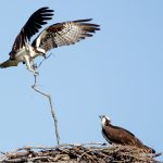 Osprey returns to nest at Scioto Audubon Metro Park