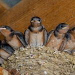 Barn swallow babies in nest at Slate Run