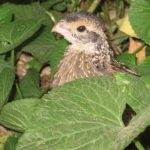 Bobwhite quail at Slate Run Metro Park