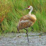 Sandhill crane in the wetland at Slate Run