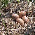Woodcock eggs in nest at Slate Run Metro Park