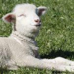 Lamb enjoys the sunshine at Slate Run Living Historical Farm
