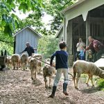 Youngster drives the sheep behind the summer kitchen during a Morning Chores program at Slate Run Living Historical Farm