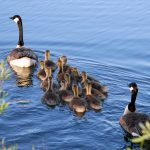 Canada geese and goslings on Turtle Pond at Three Creeks