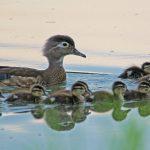 Wood duck and babies on Heron Pond at Three Creeks