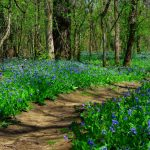 Bluebells in the woods alongside the Bluebell Trail at Three Creeks