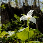 Large-flowered trillium in woods at Battelle Darby Creek Metro Park
