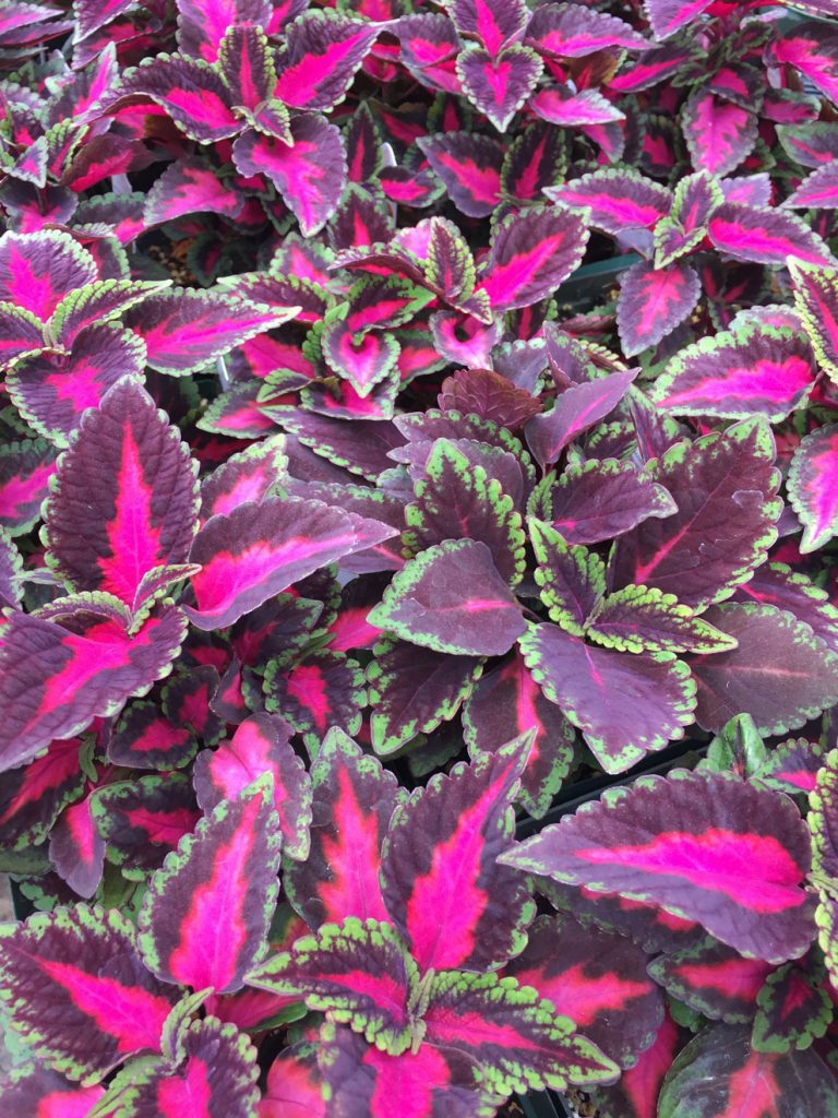Leaves of coleus plant, variety Main Street Ruby Red