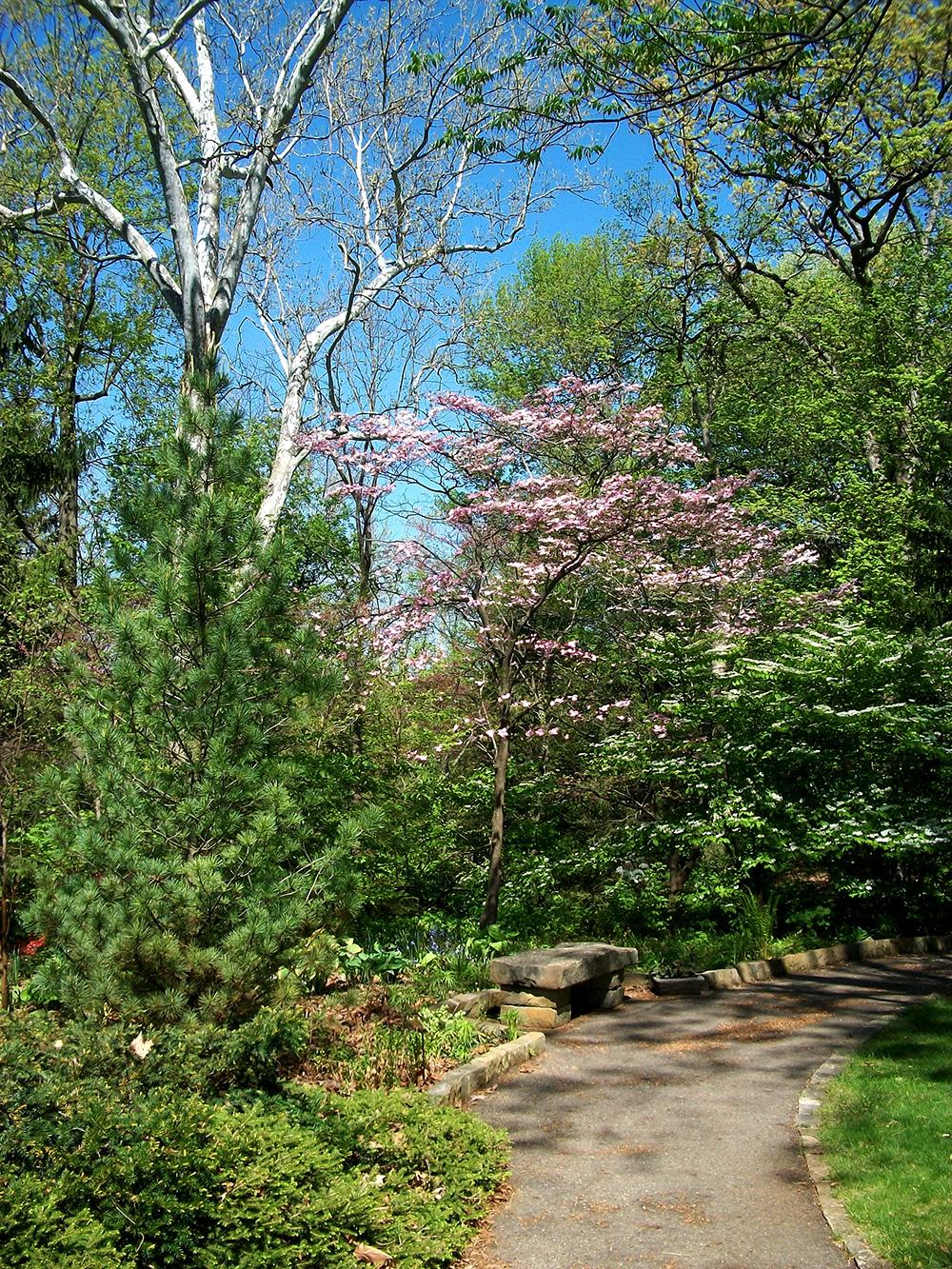 Pink dogwood (Cornus florida rubra) in the Rock Garden at Inniswood Metro Gardens.